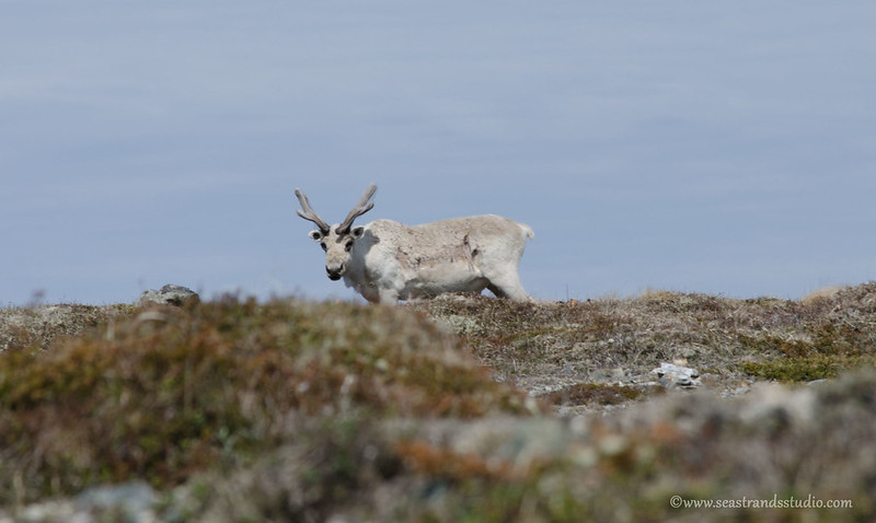 Caribou watching you