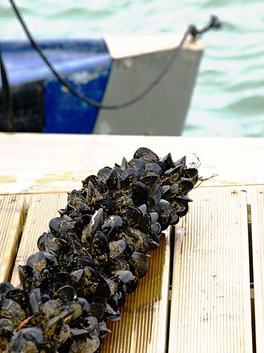 Mussels in Alfacs Bay, Delta del Ebro
