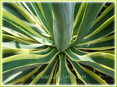 Attractive foliage of Agave desmettiana 'Variegata' (Dwarf Variegated Agave, Variegated Smooth Agave/Century Plant)