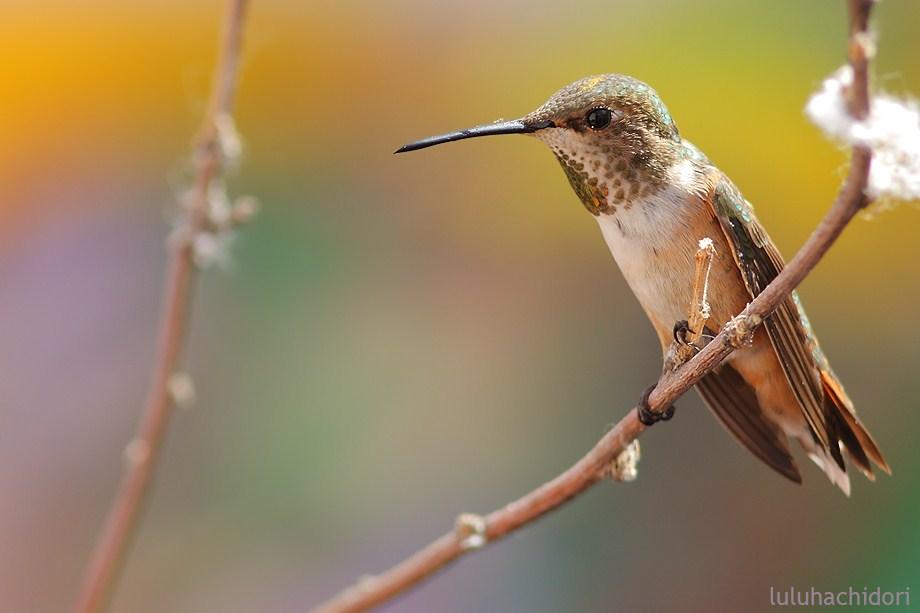 Allen's Hummingbird 052912-5