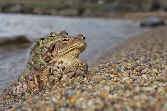 common toad loch shot flash