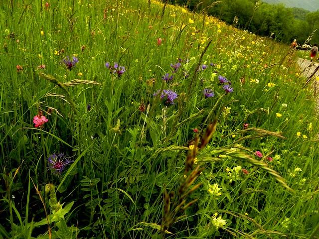 Prairie fleurie des Bauges