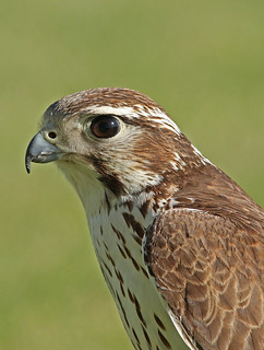 Closeup of falcon