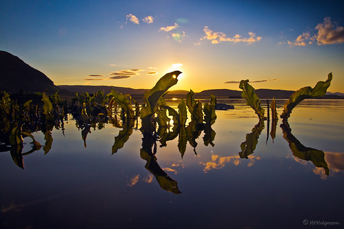 sunset lake reflection night iceland nótt vatn kvöld sólarlag speglun grímsnes sólsetur sogið álftavatn rumexlongifolius njóli hphson