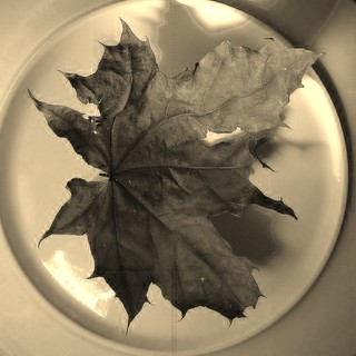 dry leaf - feuille morte