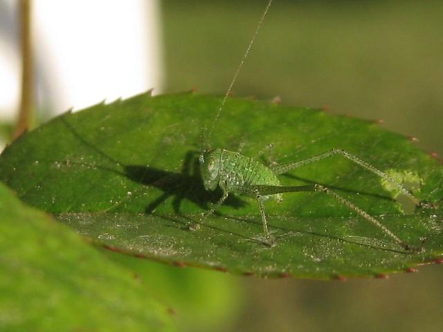 first instar katydid