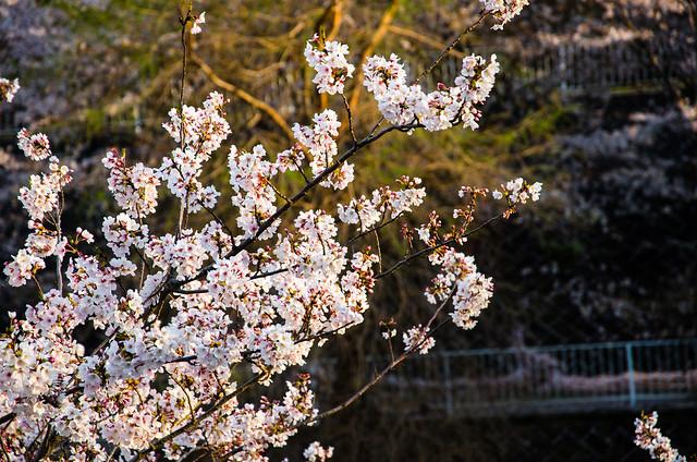 sakura_japan_14-1-5