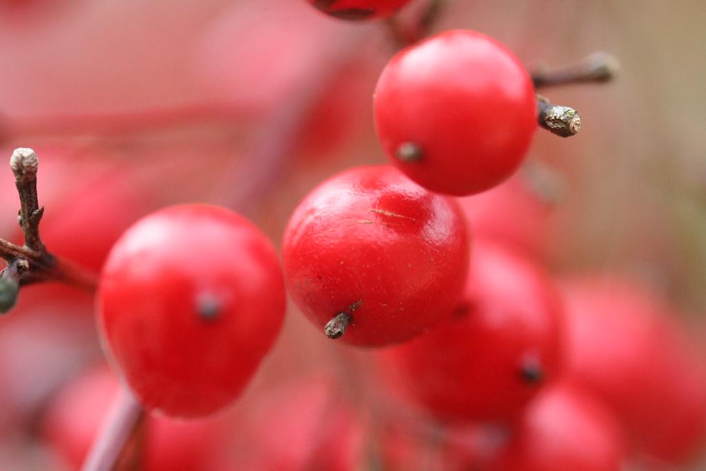 Camellia Berries