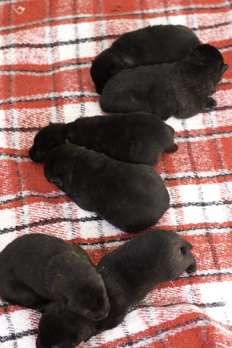Ayui-Litter4-Day20-Pups