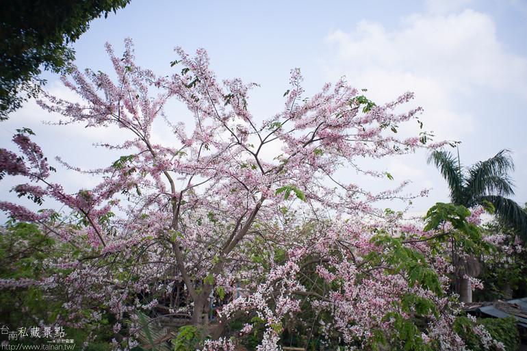 台南私藏景點--台1線花旗木 (1)