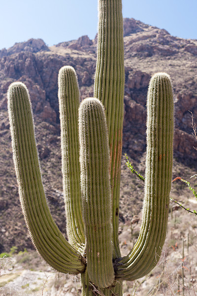 Eye Level with a 40 Foot Tall Saguaro
