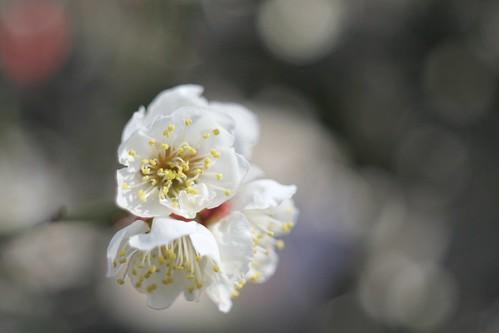 梅/Prunus mume