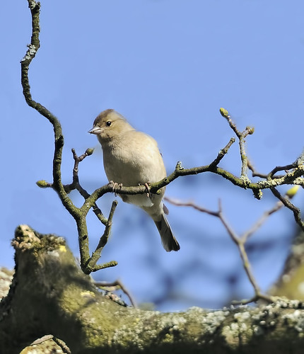 Female Chaffinch by Andy Pritchard - Barrowford