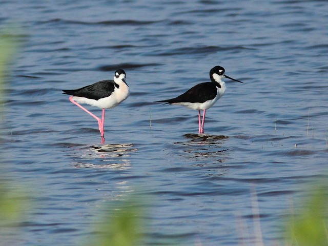 Black-necked Stilts 20120402