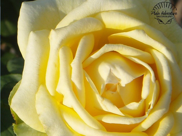 Flora Photography Number 23 – Yellow Rose