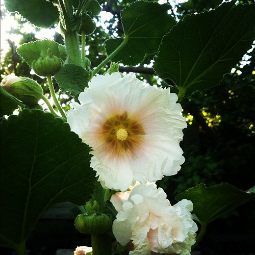 My own sweet hollyhocks at home.
