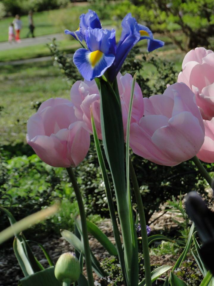 77-21apr12_3996_Botanical_garden_tulip