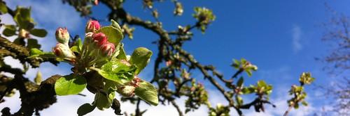 Flores de manzano sobre cielo azul