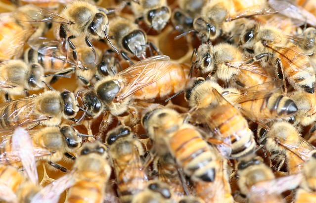 queen bee laying eggs - photo #9