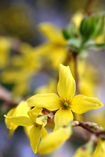 March Forsythia