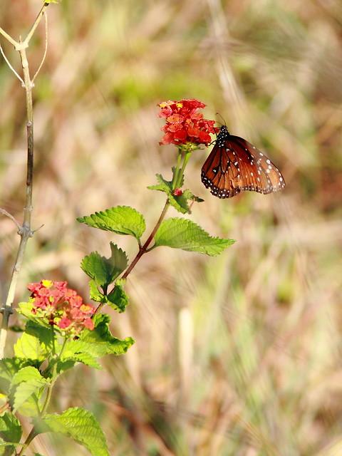 Queen butterfly 20120409