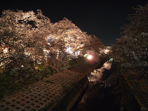 「夜桜」を愛でてきました @大中公園(大和高田市)