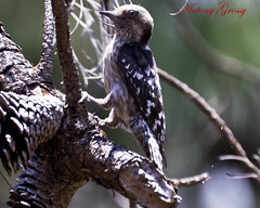 Brown Capped Pygmy Woodpecker (On the RED List of Threatened Species)