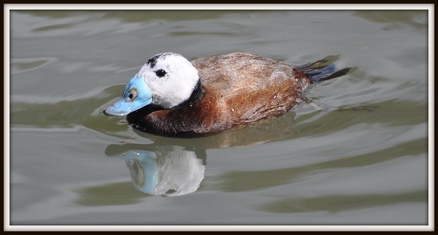 White Headed duck reflected
