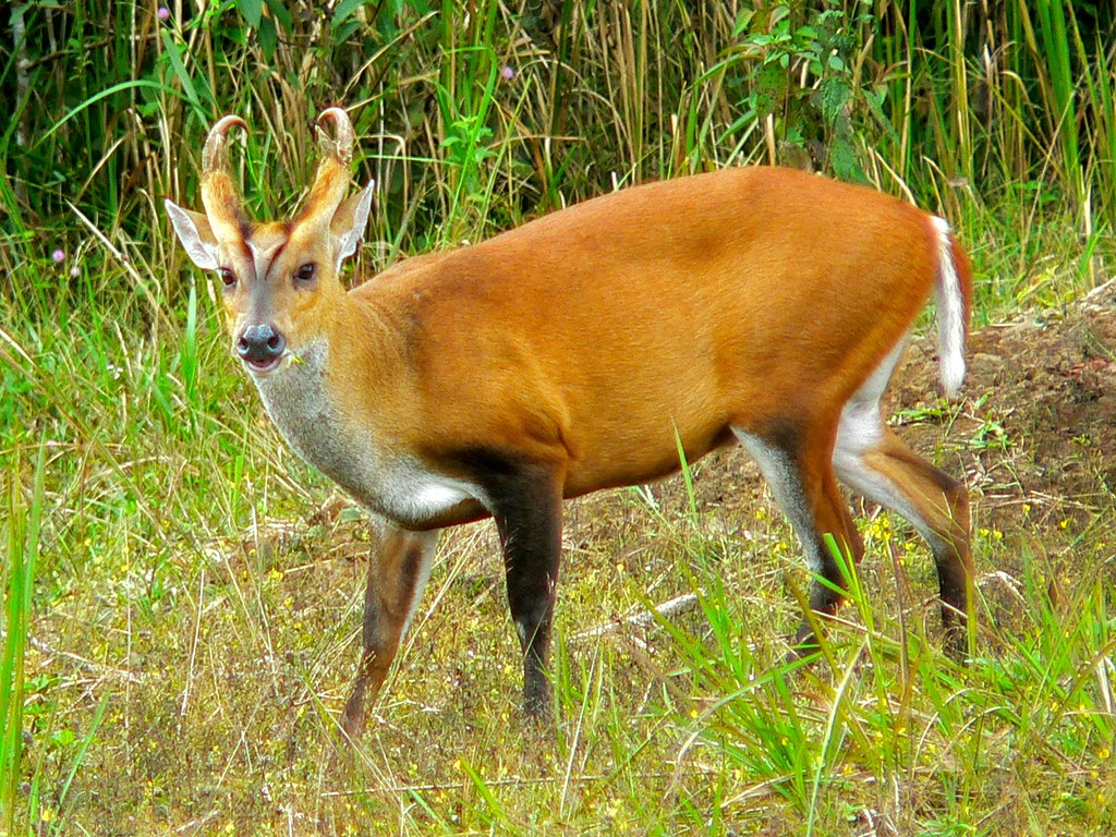 Muntiacus - Photo (c) Bernard DUPONT, algunos derechos reservados (CC BY-SA)