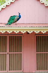 Peacock on a roof