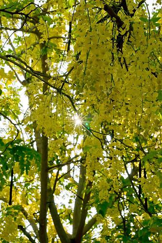 sunrise taiwan 日出 中興大學 黃金雨 sigma70300mm 台中市 goldenshowertree taichungcity 阿勃樂 nationalchunghsinguniversity sonya850 fallingcassiafistula