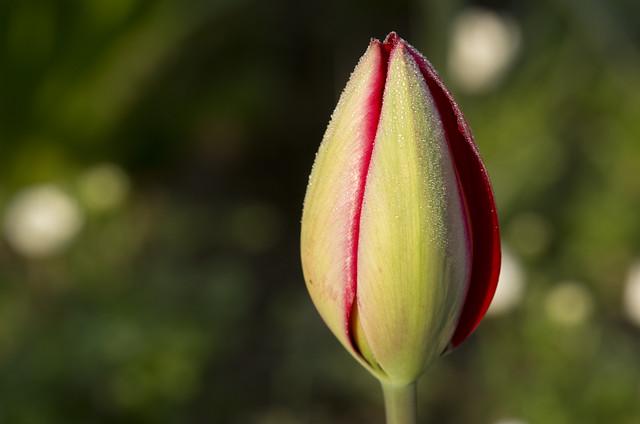 Tulipbud
