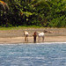 These horses walked the beach by them selves every day. No clue where they live?  Puerto Viejo, Costa Rica 08MAY12