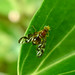 Small photo of Euleia heraclei - Hogweed Picturewing.Tephritidae