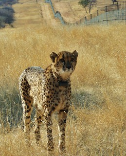 Cheetah in a game reserve