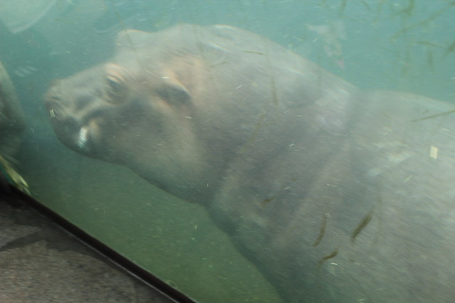Zoo de Berlin - hippo