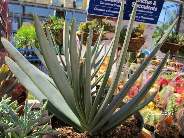 Aloe plicatilis 1