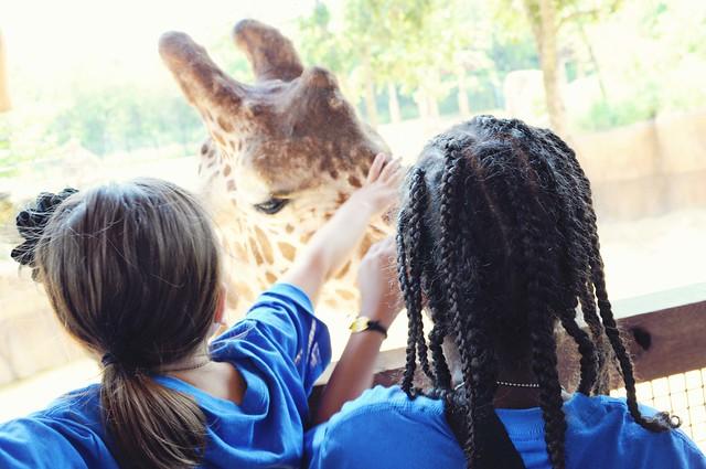 giraffe petting