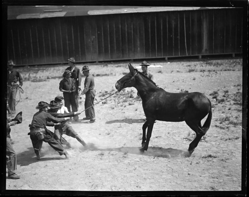 Stubborn mule at Camp Devens