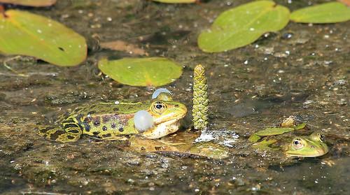 Froschgeplapper