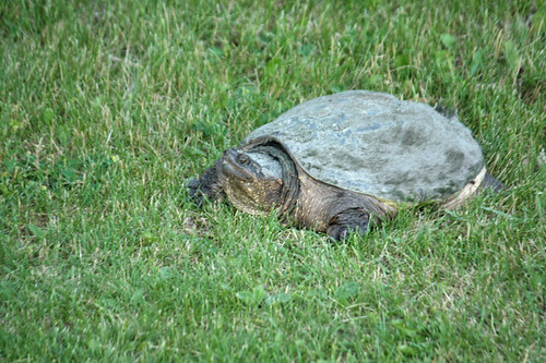 Snapping-Turtle-2