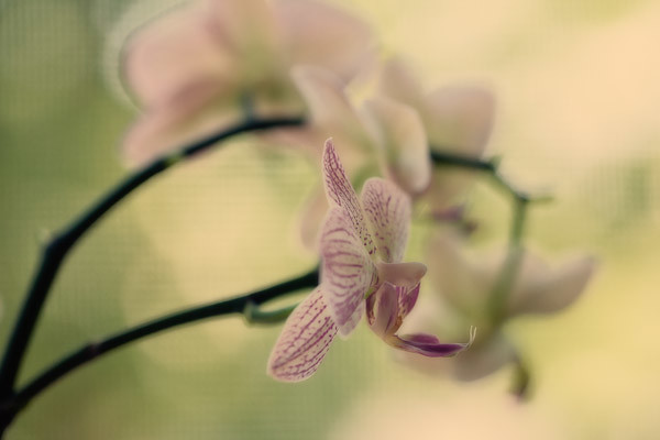 Orchid in Profile