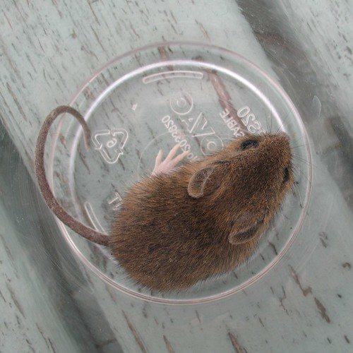 Mouse in a pint glass