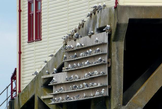 27402 - Kittiwakes, Mumbles Pier
