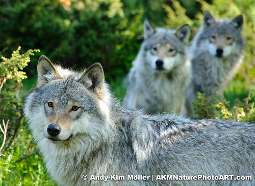 Wolfes - Spirit of togetherness by AKMNaturePhotoART