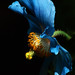 Van Dusen's Blue Poppy 2 - Vancouver, British Columbia (Explored)