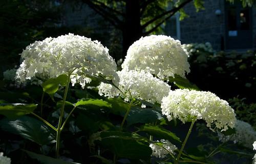 Hydrangea arborescens 'Annabelle' Sw 96-131 U 6-16-12 3 lo-res