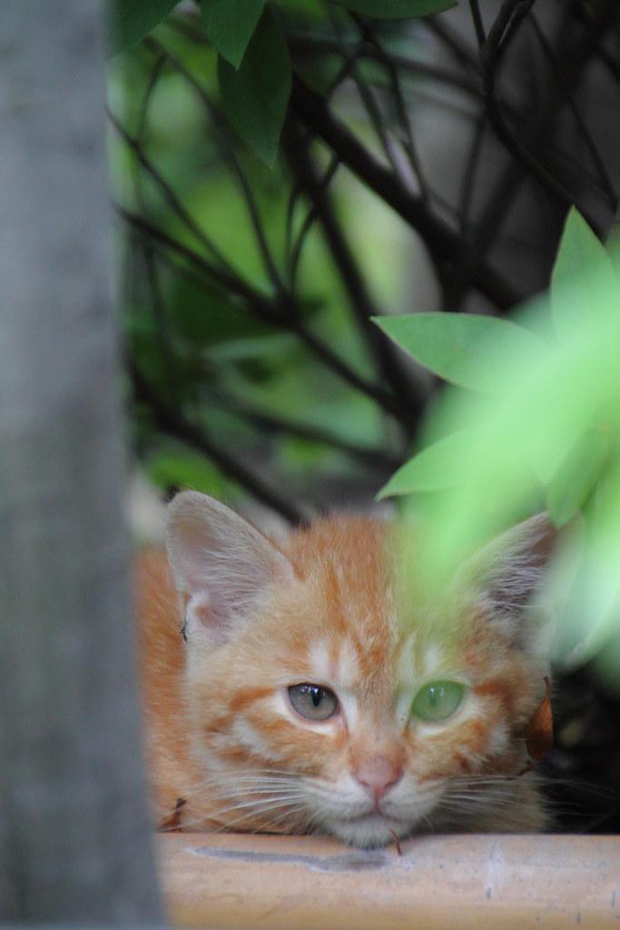 Kitten Blue - 子猫の青い目 2