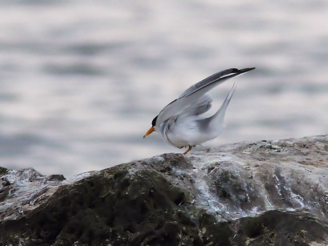 Least Tern feeding sequence 09-20140416