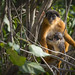 Red colobus with young one